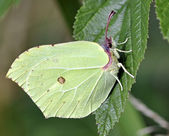 Brimstone Butterfly — Stock Photo