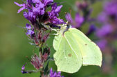 Brimstone Butterfly — Foto de Stock