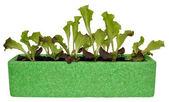 Lettuce Seedings — Stock Photo