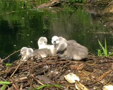 Mute Swan Nest — Stock Video