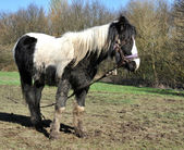 Tethered Muddy Black And White Horse. — Stock Photo