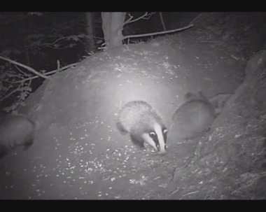 Badger Cubs Playing At Night — Stock Video