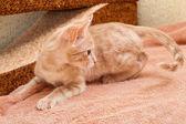 The peach striped cat . — Stockfoto