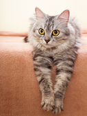 The gray striped cat of breed of Shinshil. — Stock Photo