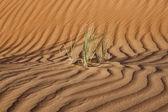 Dubai desert with beautiful sandunes, odd grass grown — Stock Photo
