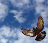 Flying pigeon space for text — Stock Photo
