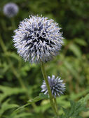 Blue alium flower — Stock Photo