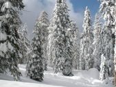 Snow on Forest Trees — Stock Photo