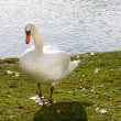 White Swan by Water — Stock Photo