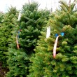 Christmas Tree Lot — Stock Photo #18125299
