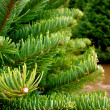 Christmas Tree Fronds — Stock Photo #18125303