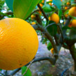 Orange on Tree — Stock Photo #18628361
