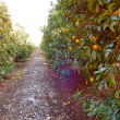 Orange Orchard — Stock Photo #18628365