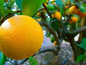 Orange on Tree — Stock Photo