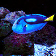 Pacific Regal Blue Tang Fish — Stock Photo #25014363