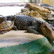 Crocodile and Turtle — Stock Photo #25014411
