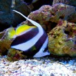 Yellow-Tailed Moorish Idol Fish — Stock Photo #25014415