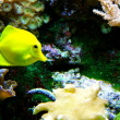 Yellow Tang Fish — Stock Photo #25014433