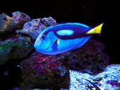 Pacific Regal Blue Tang Fish — Stock Photo
