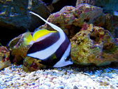 Yellow-Tailed Moorish Idol Fish — Stock Photo