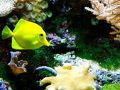 Yellow Tang Fish — Stock Photo
