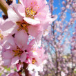 Pink Blossom Close — Stock Photo #27168447