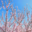 Pink Blossom Trees — Stock Photo #27168497