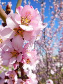 Pink Blossom Close — Stock Photo