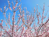 Pink Blossom Trees — Stock Photo