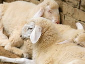Sleeping Sheep — Stock Photo
