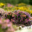 Irish wild heather — Stock Photo