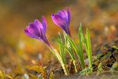 Fresh spring crocus — ストック写真