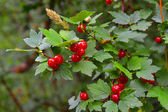 Wild berries — Stock Photo