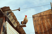 Rooster on the roof — Stock Photo