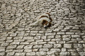 Sokakta uyuyan köpeği — Stok fotoğraf