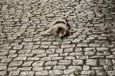 Hunden sover på gatan — Stockfoto