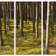 Stock Photo: Pine forest - three frames.