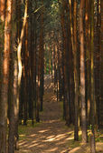 Pine forest. — Stock Photo