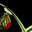 Monarch Butterfly, Milkweed Mania, baby born in the nature. — Stock Photo #19684107