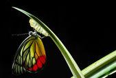 Papillon monarque, manie d'asclépiade, bébé né dans la nature. — Photo