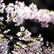 Stock Photo: Sakura (Japanese Cherry Blossom)