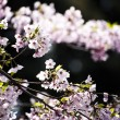 Sakura (Japanese Cherry Blossom) — Stock Photo