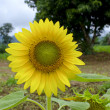 Alone sunflower field - Stock Photo