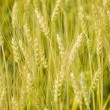Green barley field background - Stock Photo