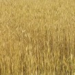 Ripe yellow ears of wheat - Lizenzfreies Foto