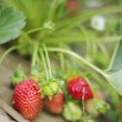 Fresh organic strawberries closeup shot — Stock Photo