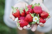 Fresh picked strawberries held over strawberry plants — Stock Photo