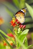 Farfalla monarca, mania di euforbia — Foto Stock