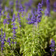 Stock Photo: Beautiful detail of lavender field.