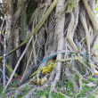 Tree Roots — Stock Photo #27178195